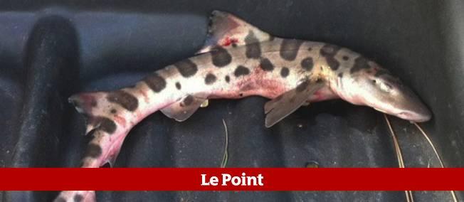 Melissa McCormack, directrice du club, a pris le squale en photo et a expliqué avoir constaté des blessures sur le dos du requin, ressemblant à des marques de morsures.