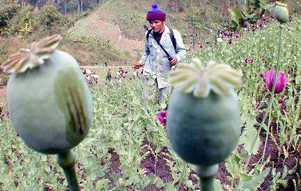 La production d'opium se stabilise en Birmanie, deuxième producteur mondial derrière l'Afghanistan