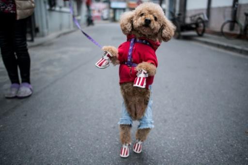 Les maîtres chinois n'hésitent pas à dépenser des fortunes pour dorloter leur animal. © Johannes EISELE AFP