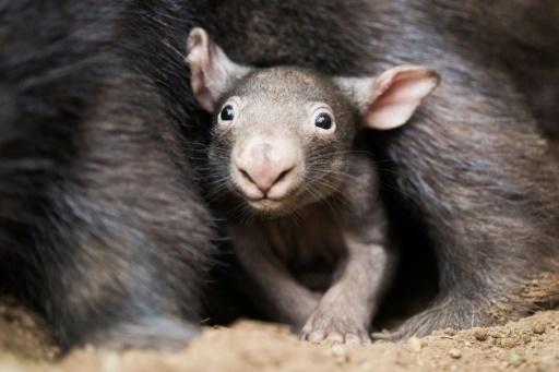 Les morsures aux fesses, la clé de la survie des wombats en Australie?