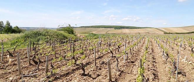 Les vignes de l'AOC chablis