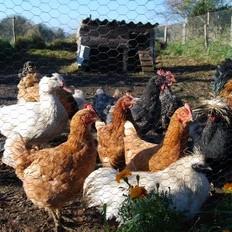 Les poules de la ferme - Tipis d'hôtes Languidic Morbihan