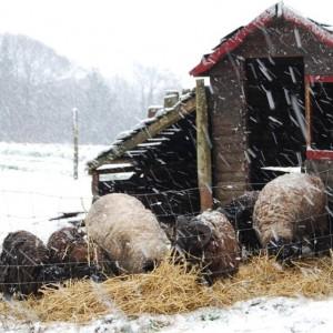 moutons boucs chèvres