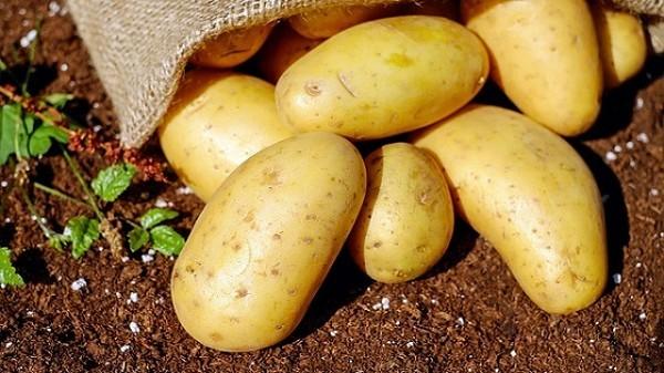 Colle de pomme de terre