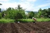 Plantation de babycorn
