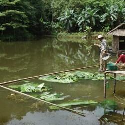 Vinh et Aurélia en train de nourrir les poissons du bassin avec du tronc de bananier mélangé à de la farine de maïs.