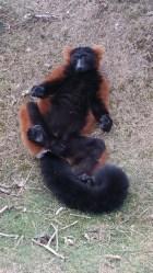 Vari roux - Zoo de la boissiere du dore
