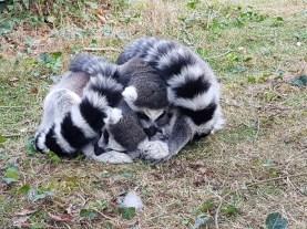Maki Catta - Zoo de la boissiere du dore