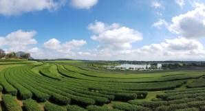 Plantations de Thé à Singha Park - Chiang rai