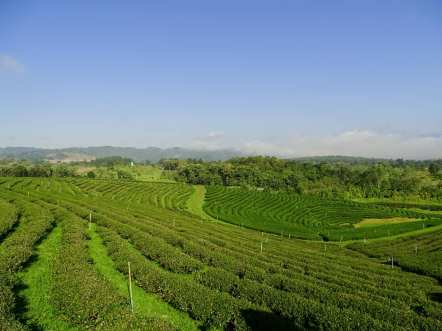 Plantation de thé Choui Fong Tea