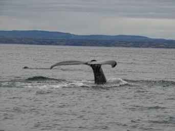 Queue de baleine à Tadoussac - Canada