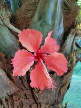 hibiscus Tahiti