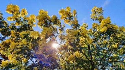 Mimosa à Arcachon