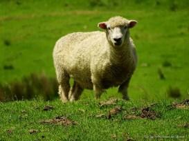 mouton au Cap Reinga en Nouvelle-Zélande
