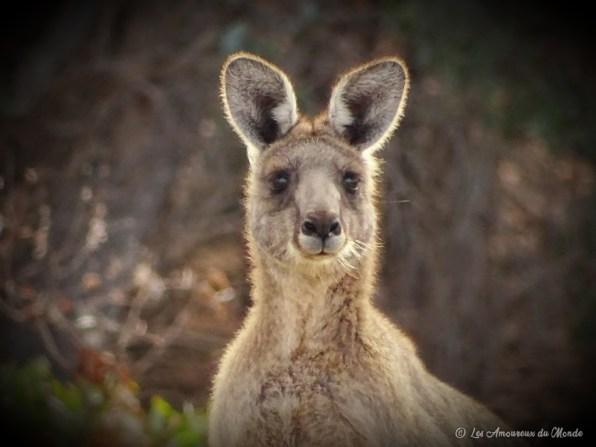 champ de kangourous sur la Great Ocean Road