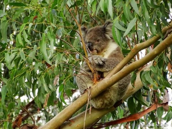 Koala sur la Great Ocean Road - Australie