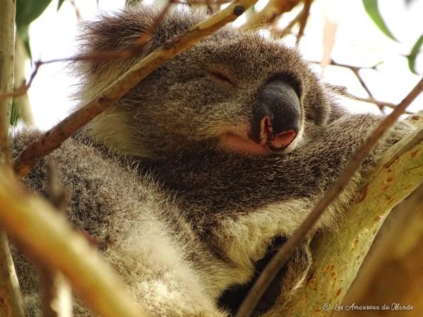 Koala à Kennett River - Great Ocean Road - Australie
