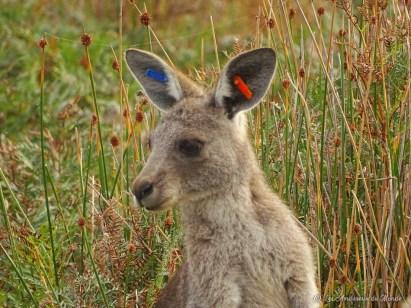 Wildlife walk - Kangourous dans le Parc de Wilsons Promontory - Australie