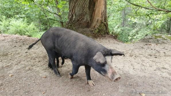 cochon sur la route en Corse