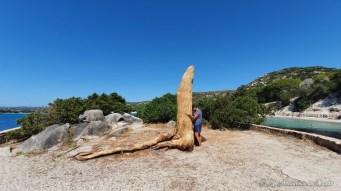 Pin abattu sur la plage de Tamaricciu en Cose