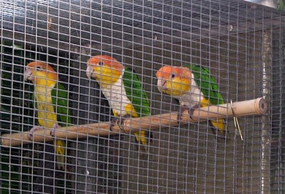 Caiques élevés par les parents EPP - 1ère sortie du nid