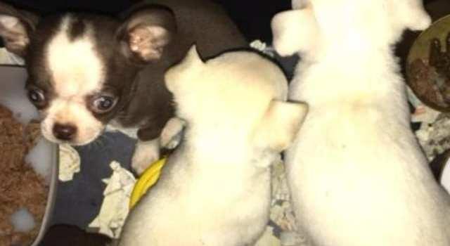 Quatre chiots chihuahua passé en fraude