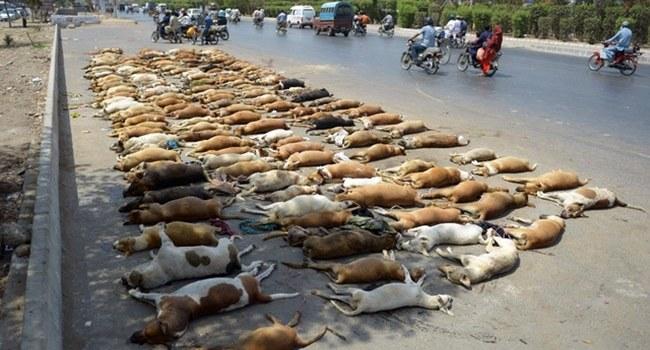 A Karachi (Pakistan), pas de répit pour les chiens errants