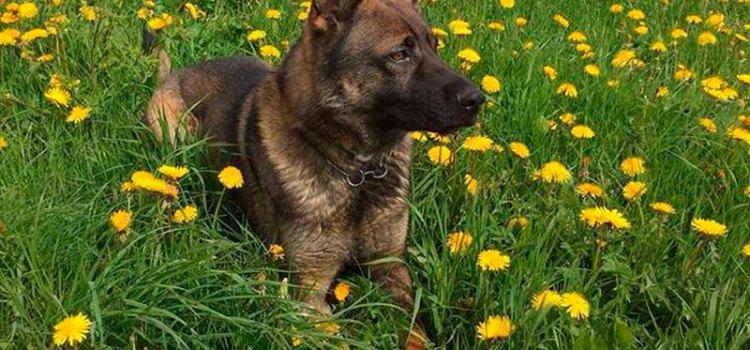 Voleurs pincés derrière un rocher par un chien policier