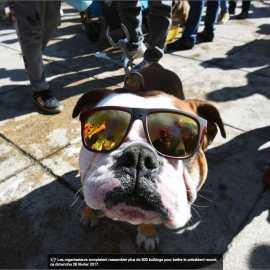 Record de Bulldogs anglais dans la rue?