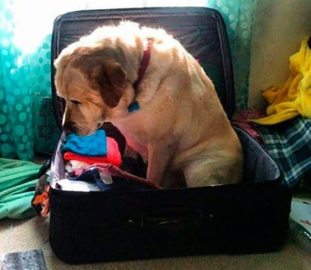 chien-valise