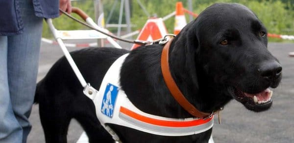 La loi pourrait bouger face aux chiens-guides refusés