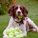 dog-with-lots-of-tennis-balls