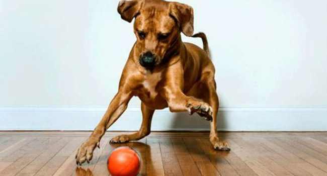 Faire joujou à distance avec son chien