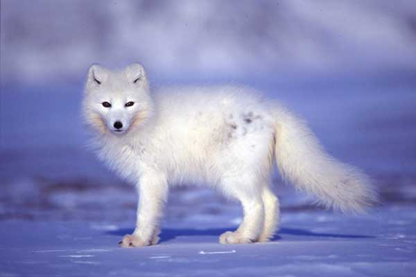 Risultati immagini per animali del polo nord