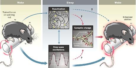 Come si formano le memorie nel sonno