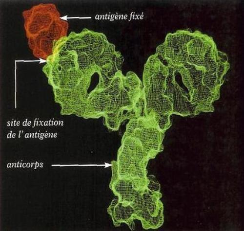 Anticorps - Antigène