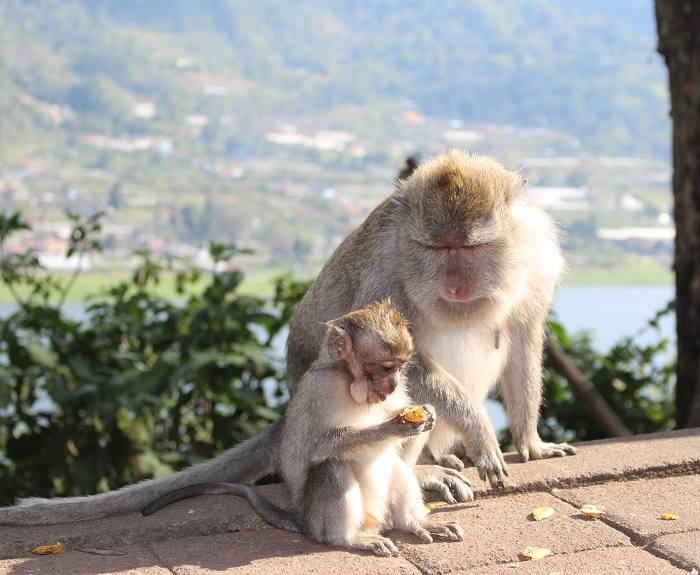 les singes à bali
