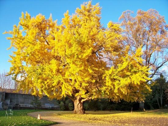 Les feuilles de Ginkgo, l'Arbre qui a résisté à la Bombe nucléaire d'Hiroshima