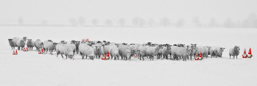 Wichtel in Schafsherde