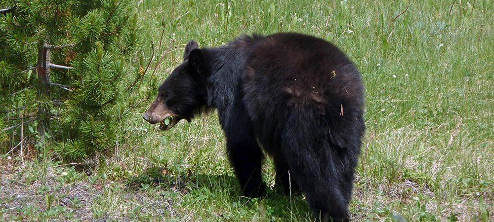 Kanadischer Schwarzbär