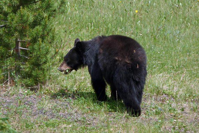 Schwarzbär im Jasper Nationalpark