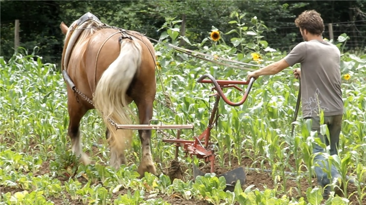 Tiffen Tolnay maraïcher en biodynamie s'occuppe de son champ avec son cheval