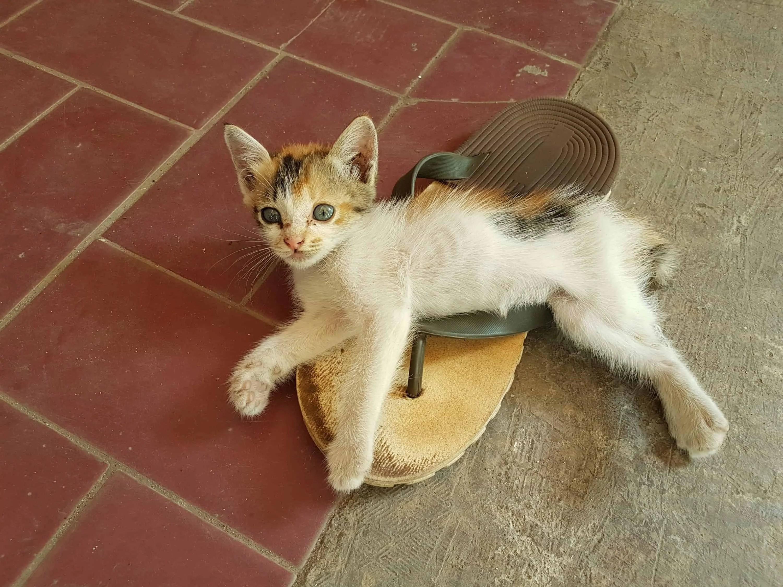 chaton à Karimunjawa, Indonésie