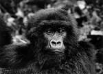 salgado-africa-gorille