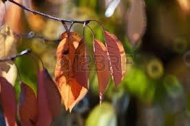 Branches d'arbre fruitier en automne