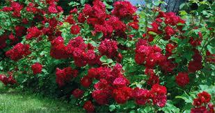 La plantation des rosiers en conteneur