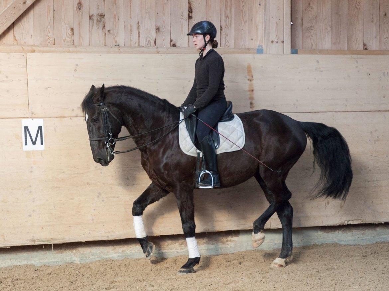 chevaux à vendre, centre équestre les kà, ferme équestre, école d'équitation - hongre pur sang lusitanien - ximbeque