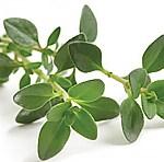 mistletoe-closeup-1525233_0002_Thyme