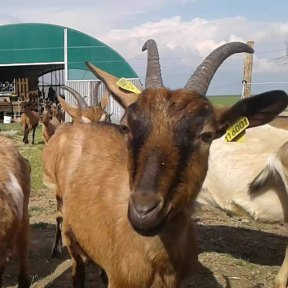 Les chèvres de Noémie