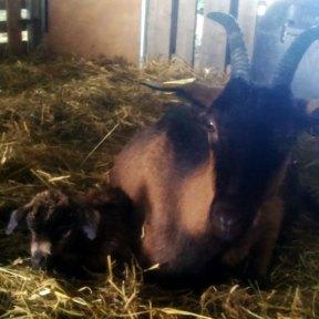 Une naissance chez les chèvres de Noémie